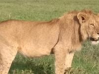 Lion In Maasai Mara Game Reserve