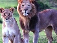 Lions Safari Lake Nakuru National Park
