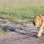 Lions Walk, Maasai Mara.