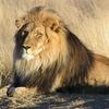 Lion Waiting In Etosha National Park