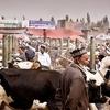 Livestock Market Kashgar - Xinjiang