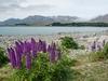 Lupins Along Tekapo - Canterbury - South Island NZ