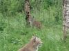 Lynx At The Polar Zoo In Bardu