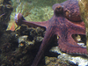 Female Octopus In Aquarium