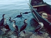 Lago  Erhai  Cormoranes