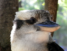 Laughing Kookaburra At Audley