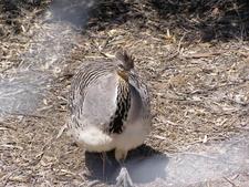 Malleefowl At Little Desert National Park