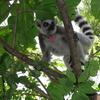 Lemur Catta Beza Mahafaly