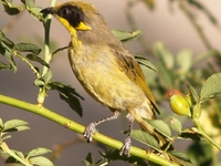 Murray-Puesta de sol, Hattah y Annuello Área Importante para las Aves