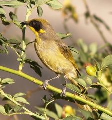 Purple Gaped Honeyeaters