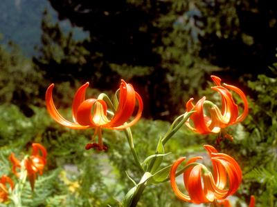 Lilium Chalcedonicum In Pindus National Park