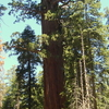 Lincoln Redwood Tree