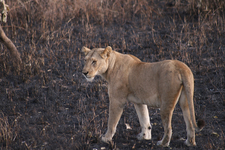 A Lioness In The Park