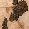 Little Brown Bats At Endless Caverns