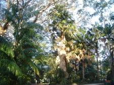Livistona Saribus Townsville Palmetum