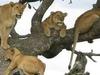 Lion On Trees