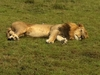 Lion Relax