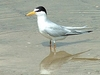 Least Tern At Lake Jackson
