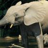Elephants In The Mbeli River