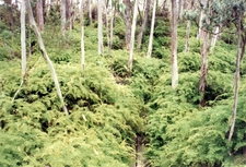Snow Gums And Coral Ferns