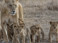 Masai Mara And Lake Nakuru Lodge Safari (Wildlife Safari)