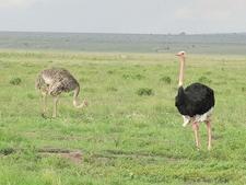 Maasai Ostrichs In Amboseli NP Kenya