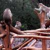 Macaca Radiata Bonnet Macaque