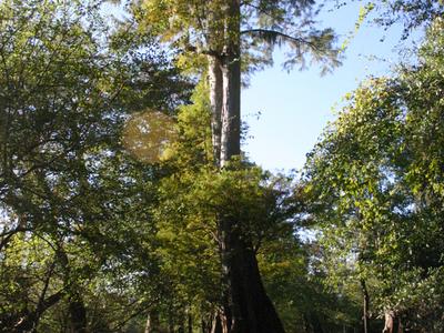 Majestic Cypress