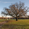 Majestic Oak In Cannon Hill Common Park