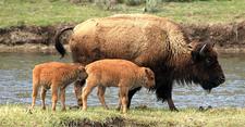 Mama Buffalo & Calves