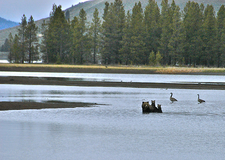 Mama Grizzly With Cubs - Yellowstone