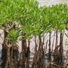 Mangroves At Vellikkeel