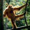 The Critically Endangered Sumatran Orangutan