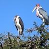 Marabou Storks Near Awasa In Ethiopia