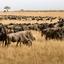 Masai Mara , Wildebeest