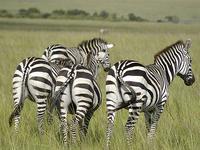 4 Days Lake Nakuru/Masai Mara Budget Safari