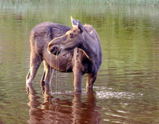 Moose At Washington Creek