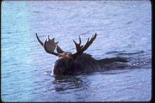 Moose Swimming At Isle Royale