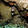 Moray Eel @ Poor Knights Island NZ