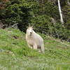 Mountain Goat At Olympic National Park
