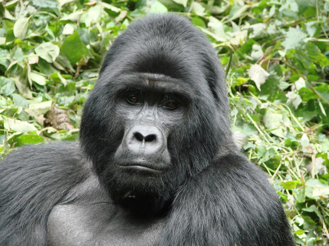 Combined Safari Tanzania & Uganda Gorilla Tracking Photos