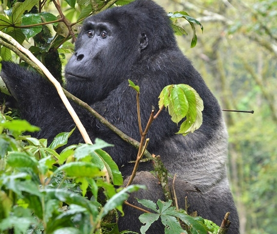 3 Days Mountain Gorilla Trekking Uganda Safari Photos
