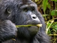 Fly in Gorilla Tour