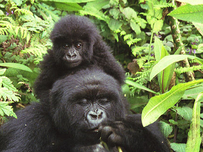 Mountain Gorillas In Volcanoes National Park