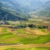 Mu Cang Chai - Yen Bai - Paddy Harvest