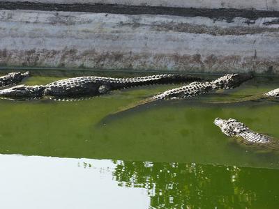 Mugger Crocodiles
