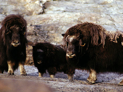 Musk Ox In Northeast Greenland National Park