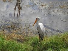 Mycteria Ibis Lake Nakuru