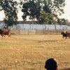 Bull Racing In Sumenep, Madura