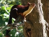Malabar  Giant  Squirrel   Dogra
